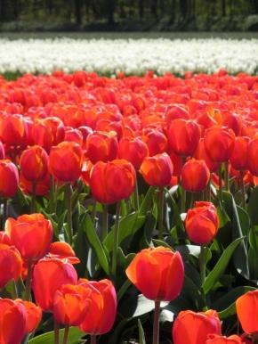 Tulpen uit Castricum