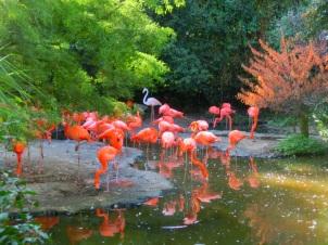 cubaanse-flamingos