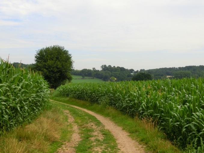 Eindeloze maïsvelden