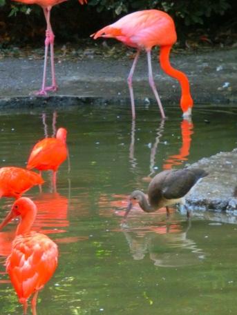 rode-en-zwarte-ibissen