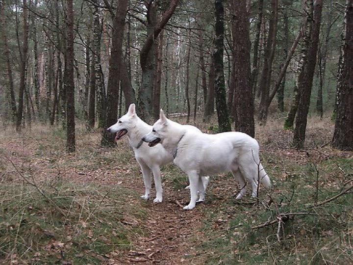witte-herders-in-het-bos-bron-babiche-westerduin