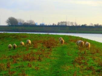 schaapjes-op-het-droge