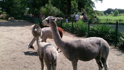 alpacas-dierentuin-nordhorn-van-jeanine-bults-bijker