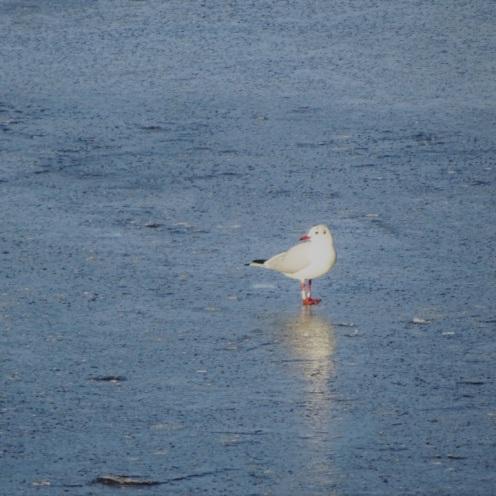 meeuw-op-het-ijs