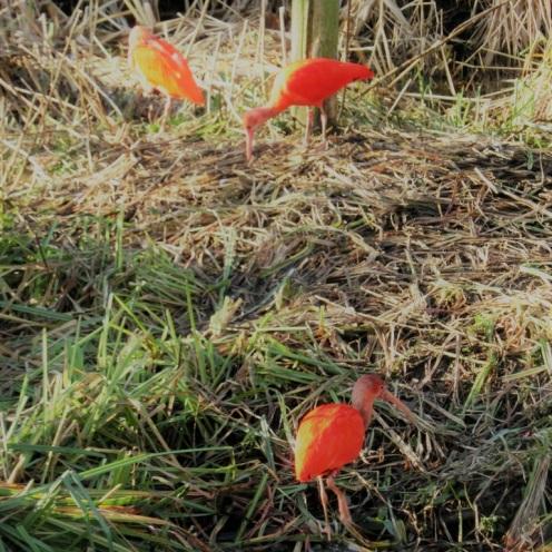 rode-ibissen-blijdorp