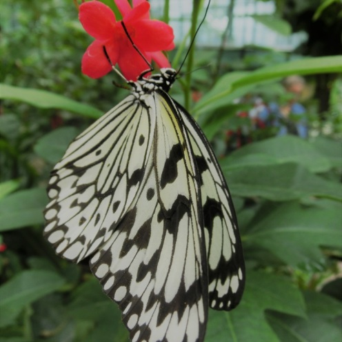 vlinder-artis