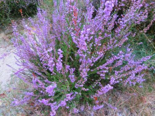 Heide in bloei