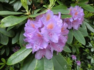 Pontische rododendron