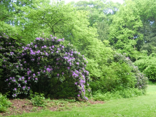Rododendrons in Landgoed Marlot