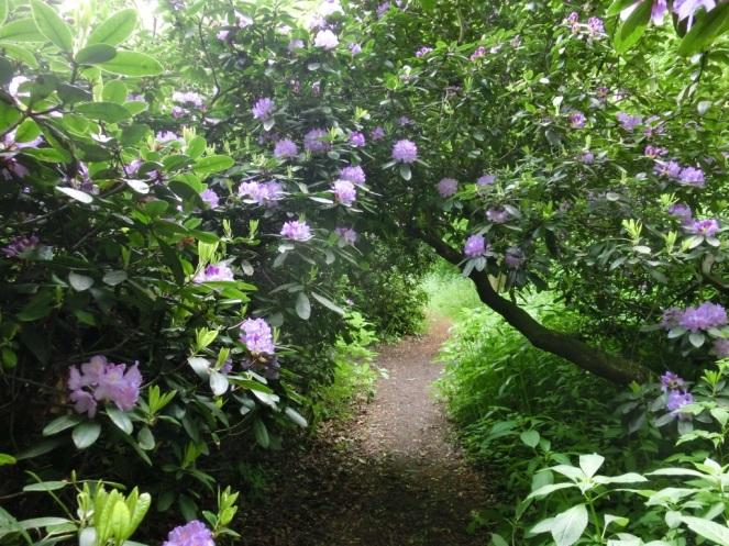 Rododendrons in Landgoed Reigersbergen