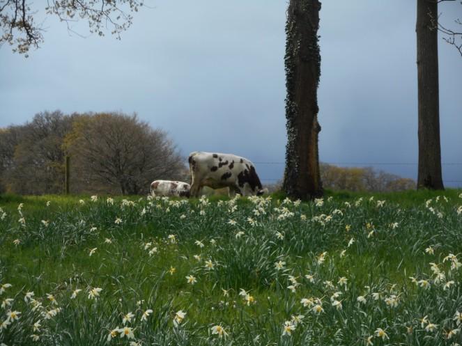 Koeien nabij Kasteel Hackfort foto van Stien den Braber