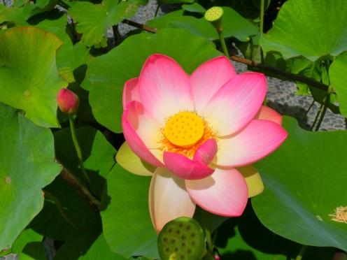 Heilige Lotusbloem