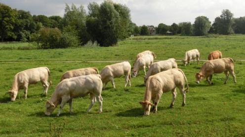 Koeien Markdal