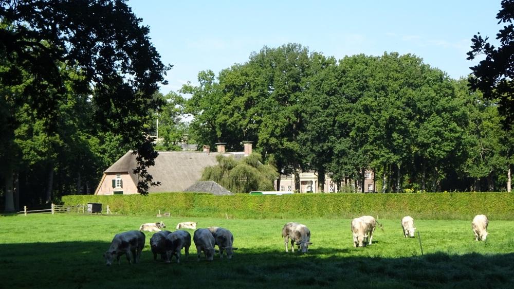 Koeien voor de boerderij