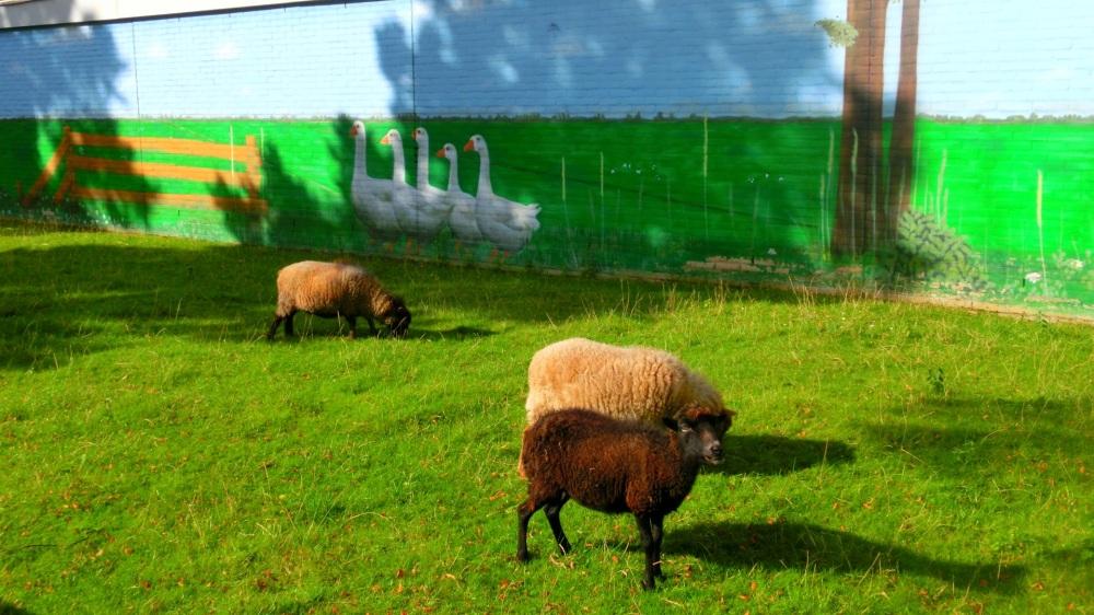 Weitje met schapen.jpg