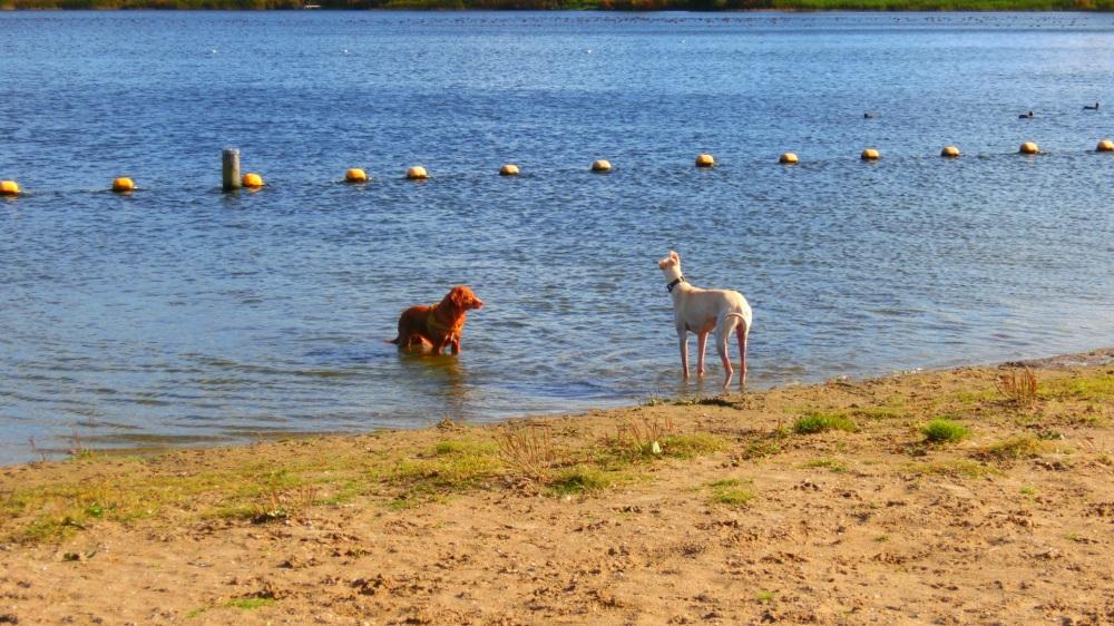 Spelende honden