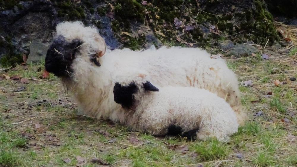 Zwitserse schapen