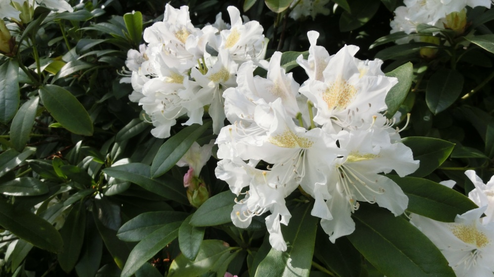 rododendrons