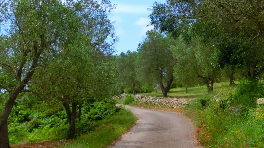 Asfalt pad tussen olijfbomen