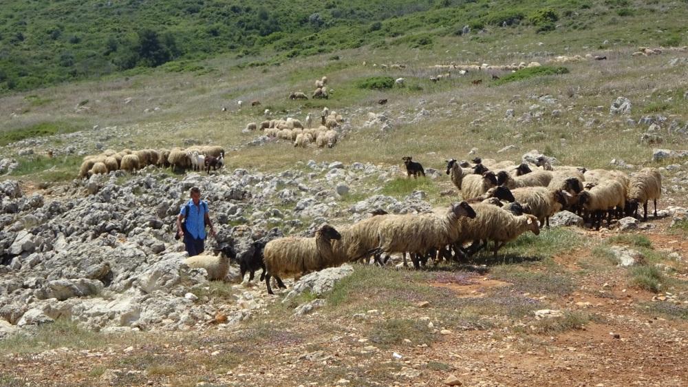 Herder met schaapskudde