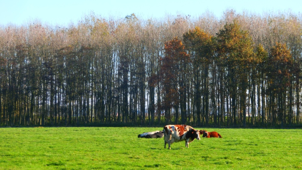 Koeien bij Weipoort