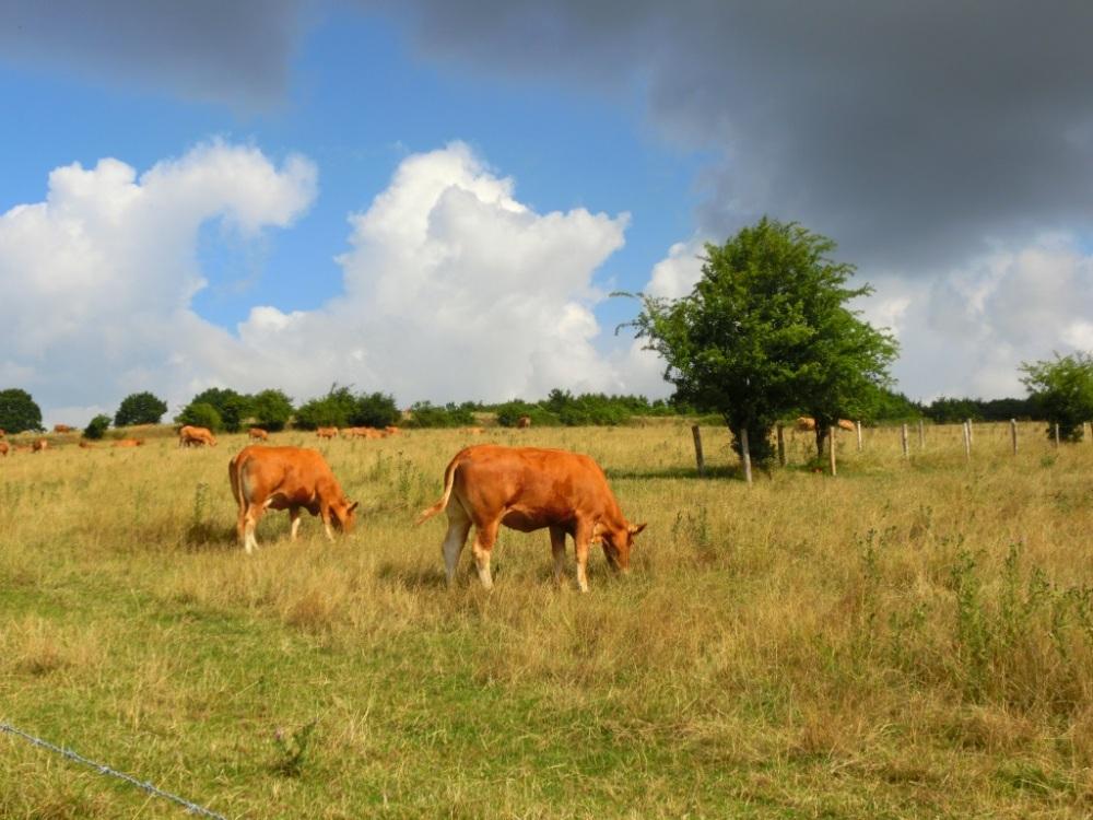 Limburgse koeien