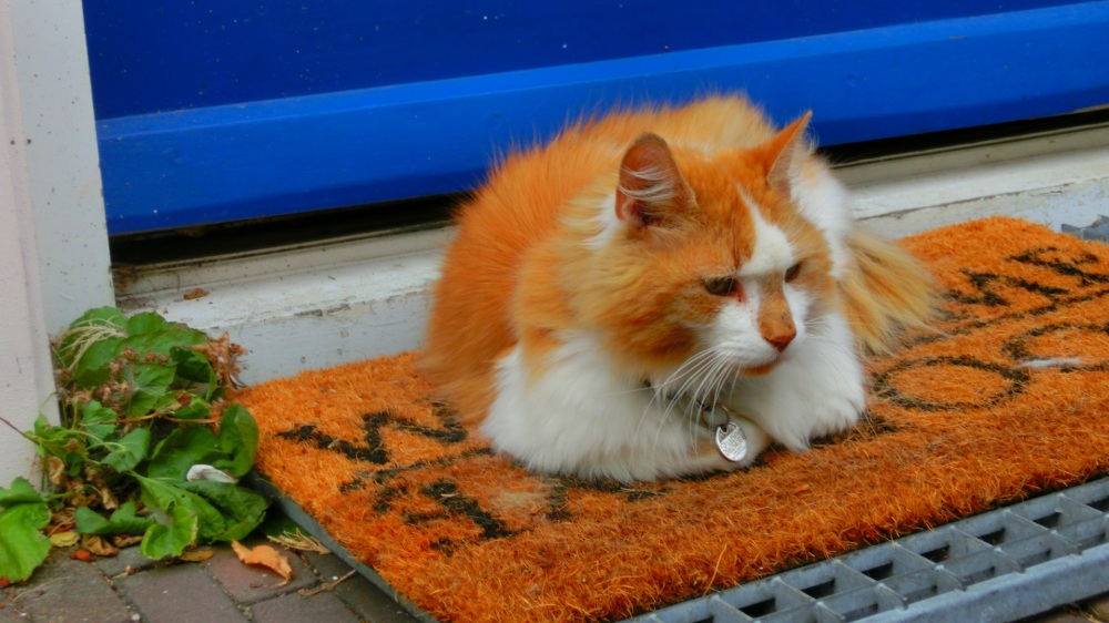 Delftse kat