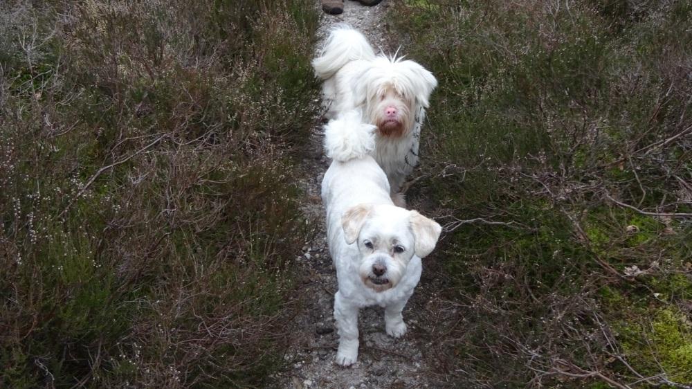 Witte hondjes